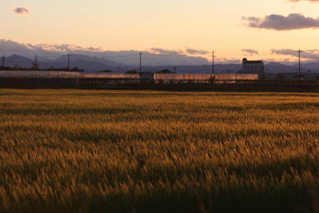 夕暮れの麦畑(2)