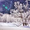 樹氷を纏う徳澤の大樹