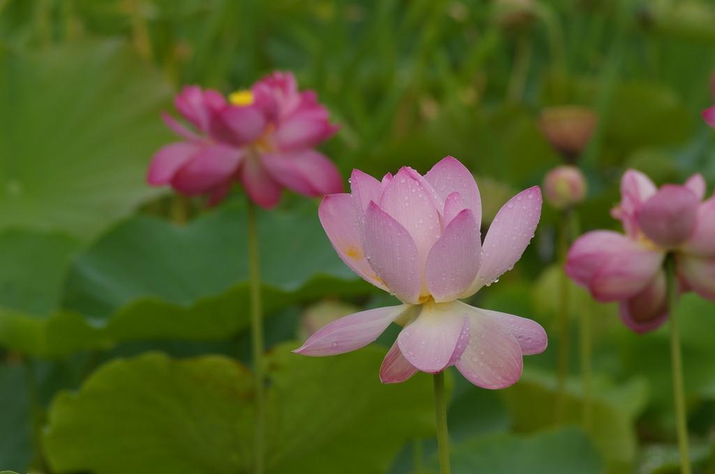 蓮の花の雫