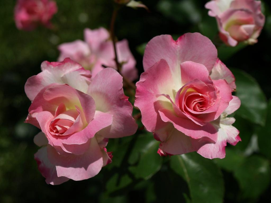 双子のバラ