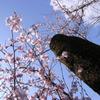 早咲きの桜を斬る