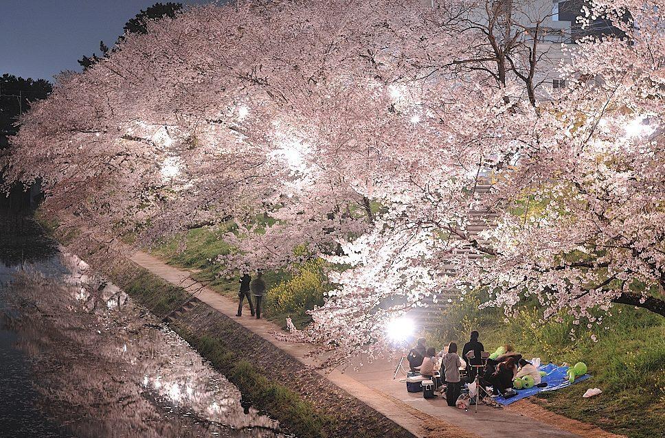 岡崎城からの夜桜