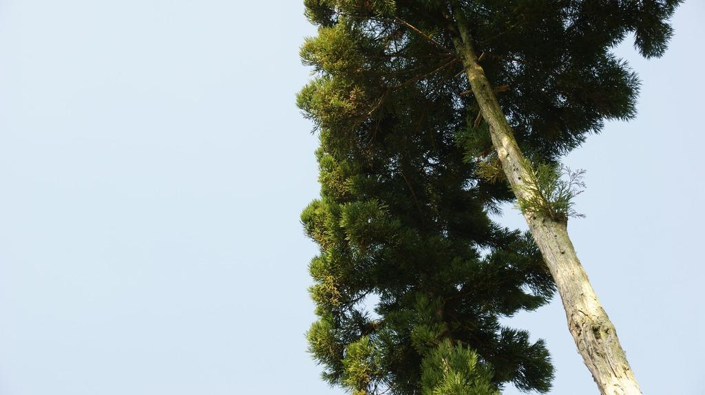 空を眺める杉