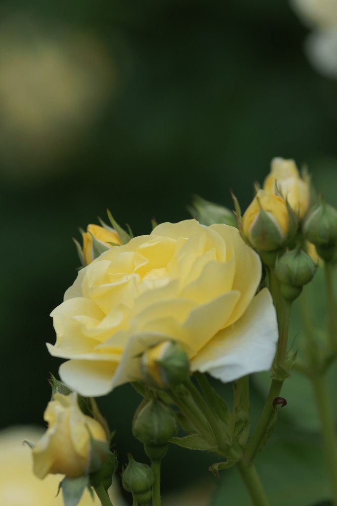 バラ(黄色)