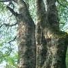 ブナの大木(白神山地)