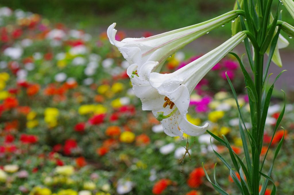 花達のラッパ