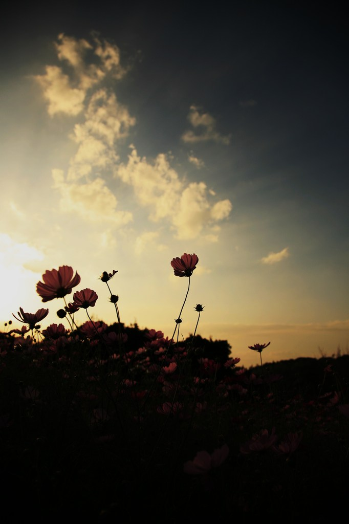 夕日のコスモス
