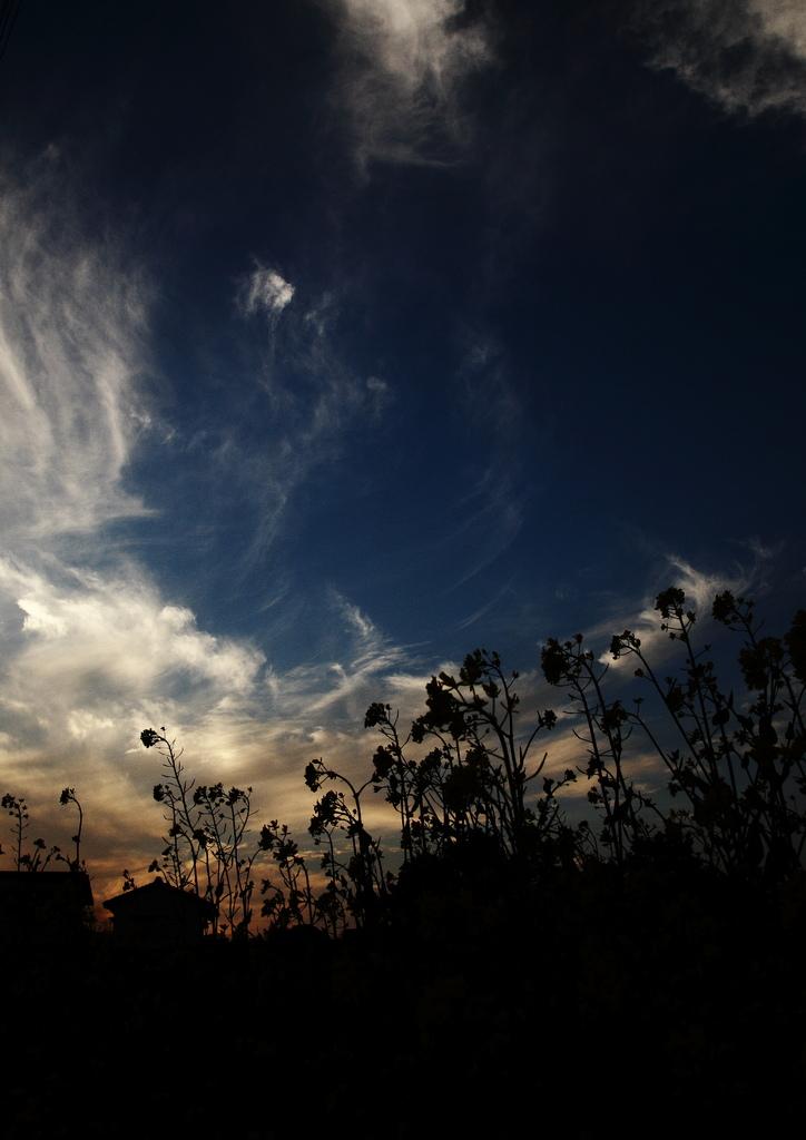 夕日の菜の花