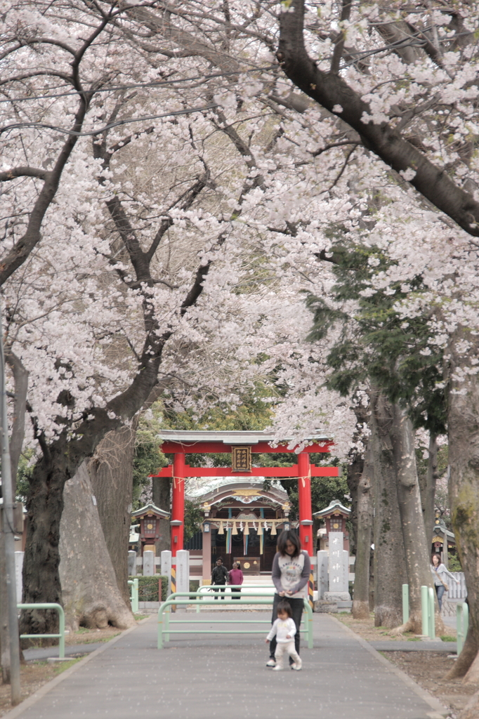 桜の咲く参道で