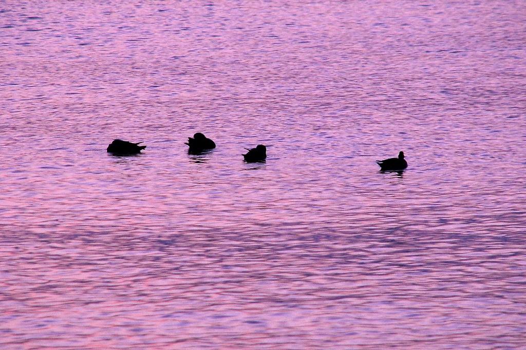 夕焼けと水鳥