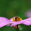 a bee on the cosmos