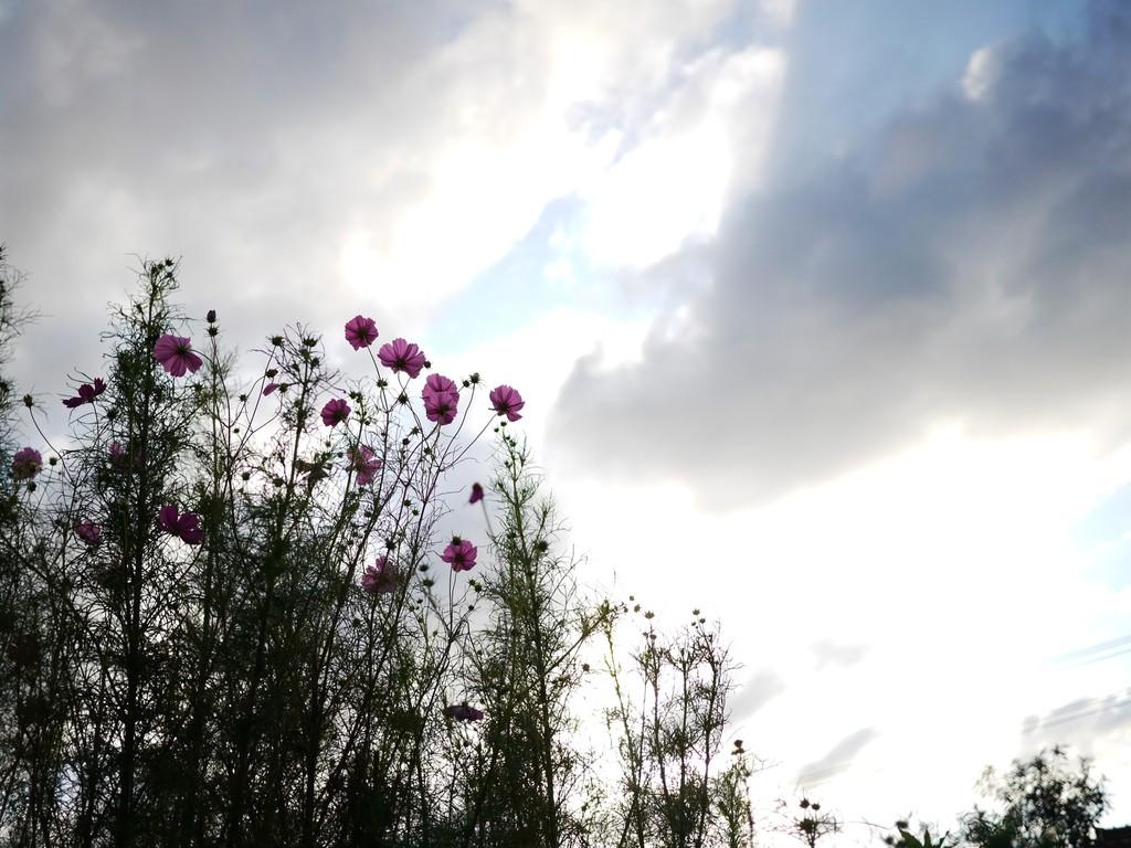コスモスと曇り空