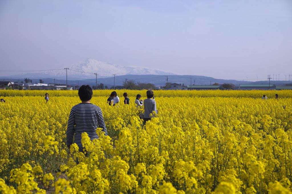 鳥海山と菜の花