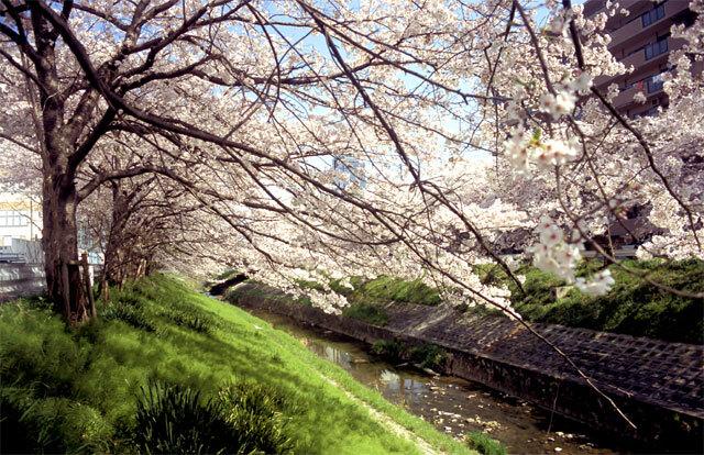 佐保川の桜2005