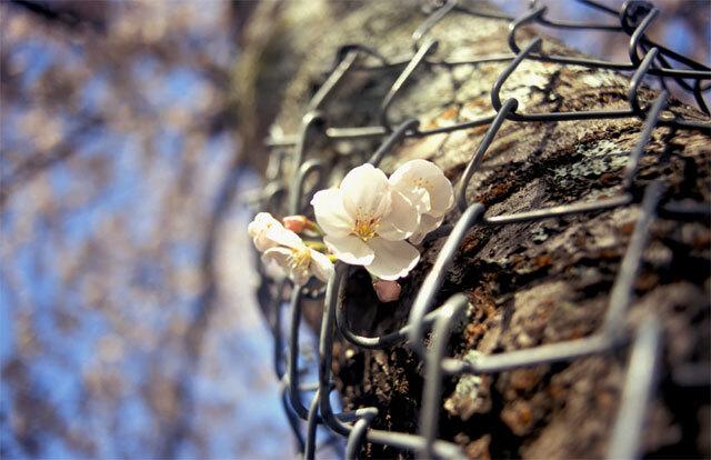 奈良公園の桜2005