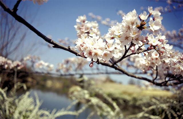菖蒲池の桜2005