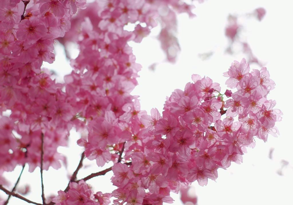 満開!桜はまだかいな?