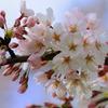 春一番♪(キャンディーズ)