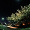 Cherry tree of night