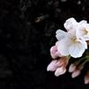 咲きました