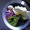 シリーズ・・手鏡の中の芍薬 2