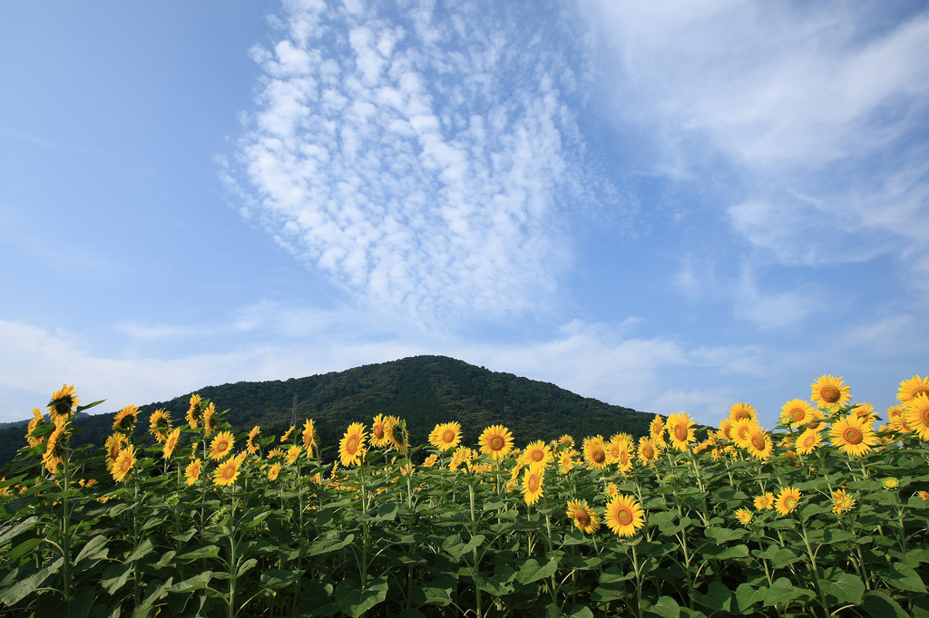 空・ひまわり・山・夏の雲