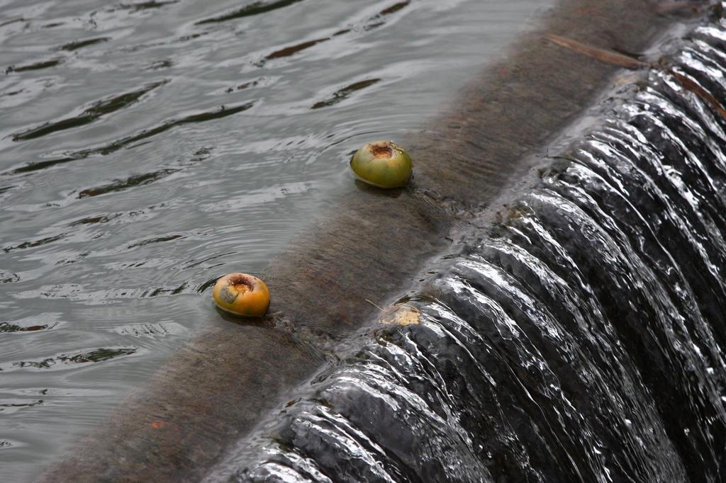 落ちそうで落ちない柿