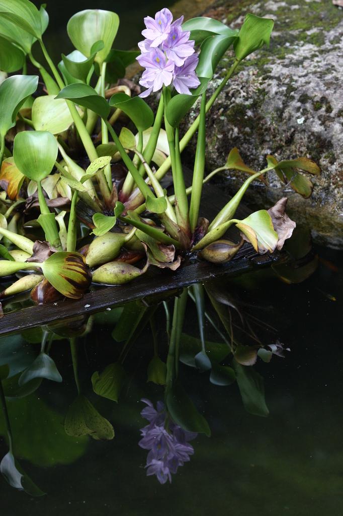 水中花(布袋葵)