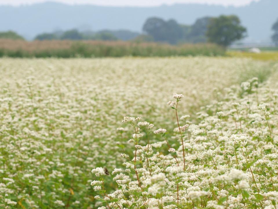 猪苗代町ソバの花