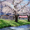 福島 観音寺川の桜 ⑤
