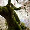 樹齢140年