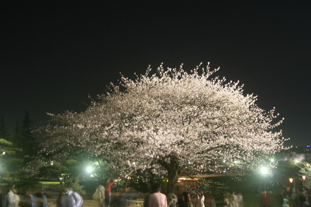 ライトアップされた大きな桜