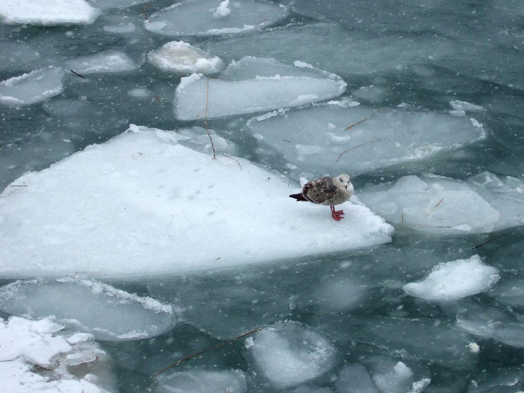 流氷の上の鳥