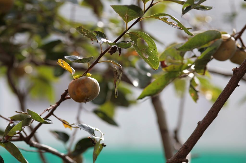 実り(柿)