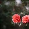 四季咲きのバラ