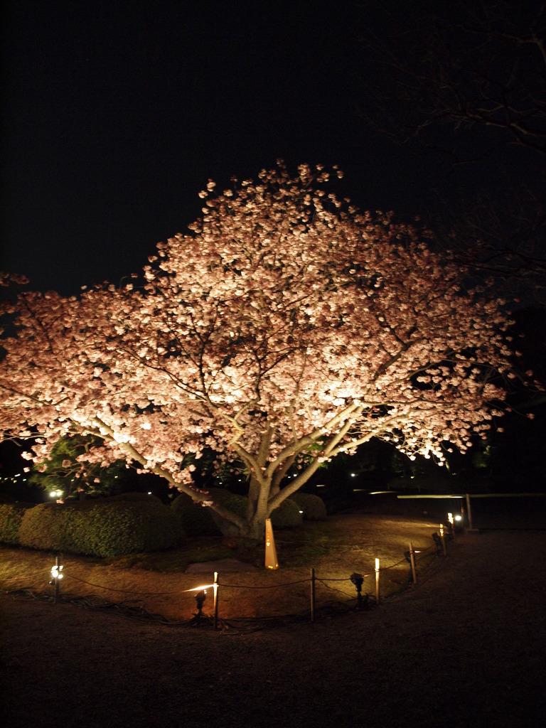 闇夜に光る桜