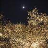 夜桜@二条城