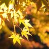 黄金色の輝き