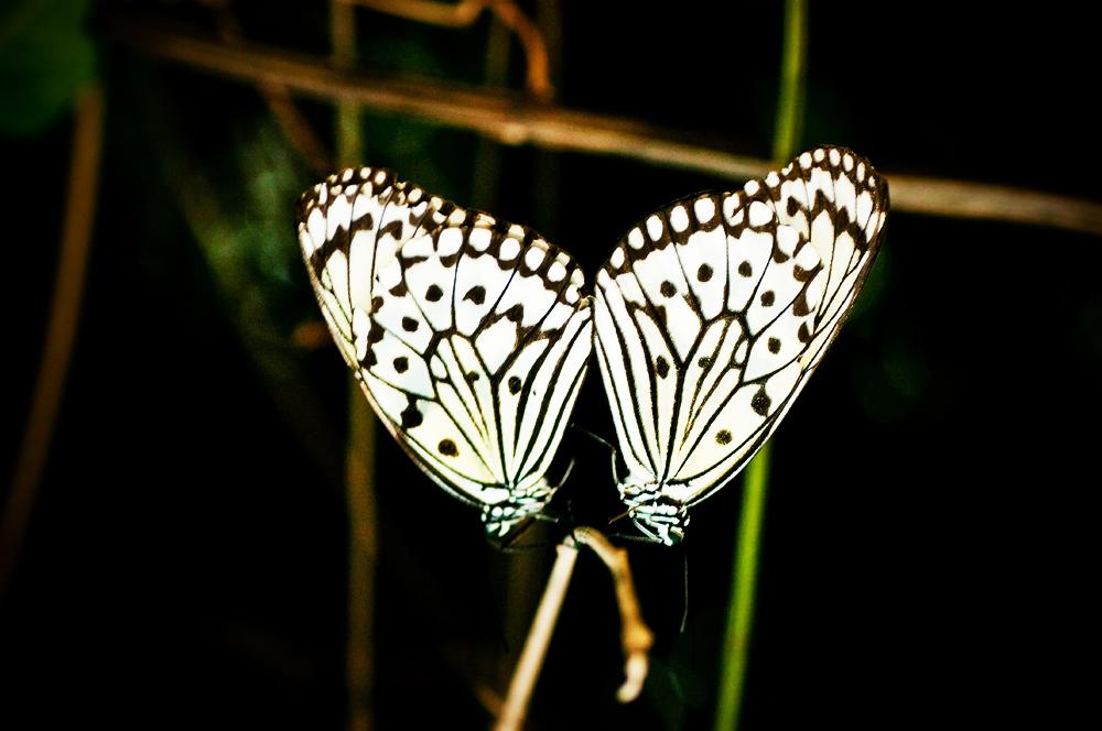 double batterfly heart
