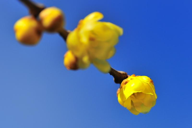 冬晴れの蝋梅