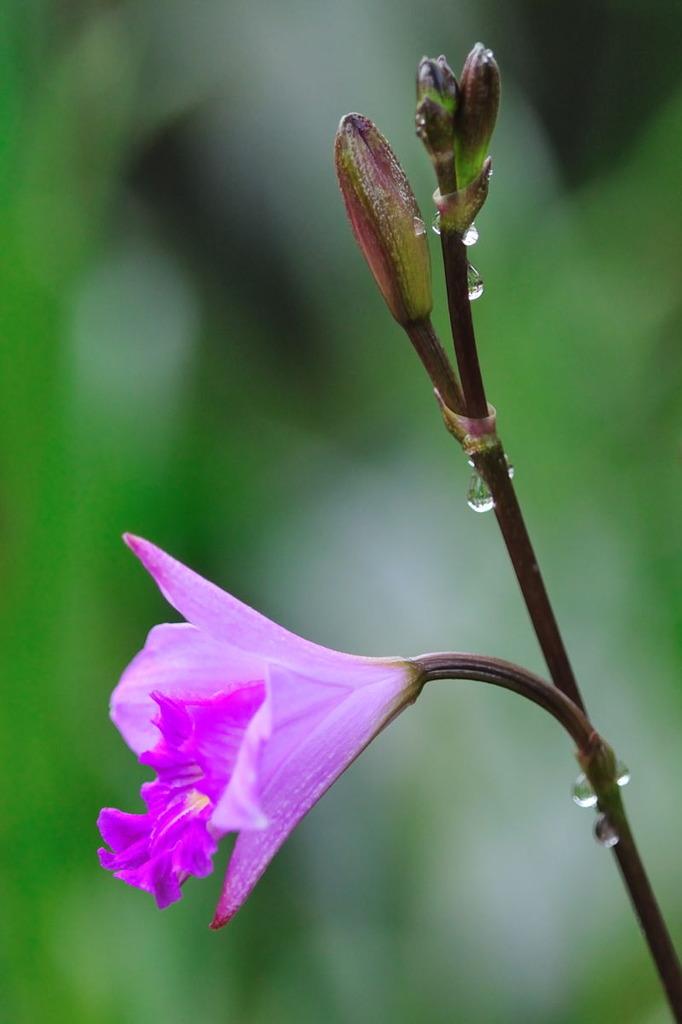 Orchid オーキッド Ⅲ