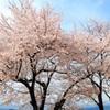 甘樫の丘の桜