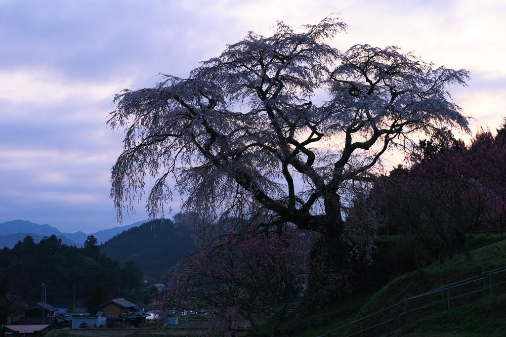 夜明けの又兵衛桜
