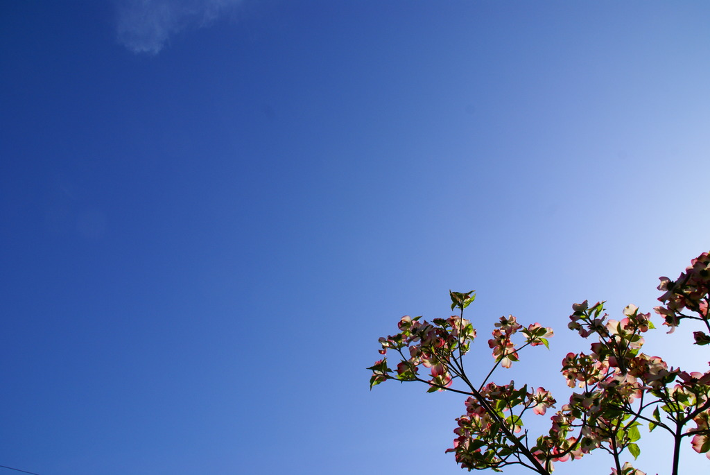 蒼空と雲とハナミズキ