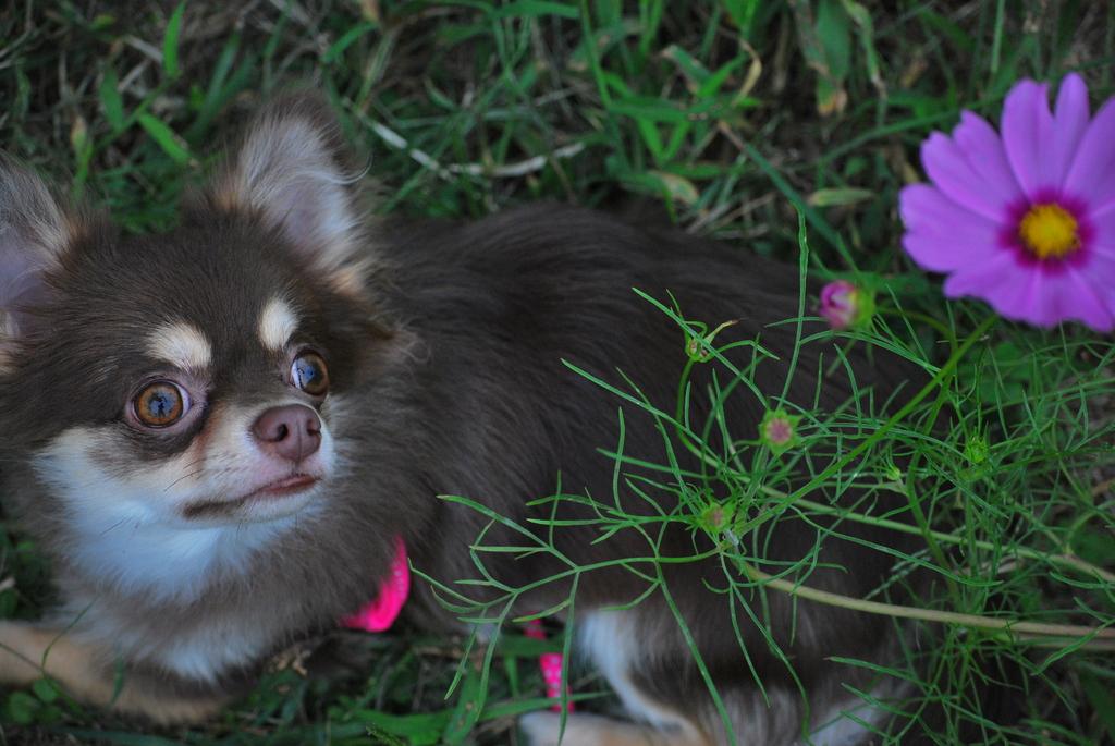 愛犬とコスモス