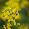 蜂&菜の花