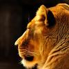 金色ライオン