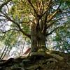 巨木と木々たち