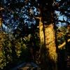 1300年杉