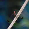 赤蜻蛉(赤とんぼ)